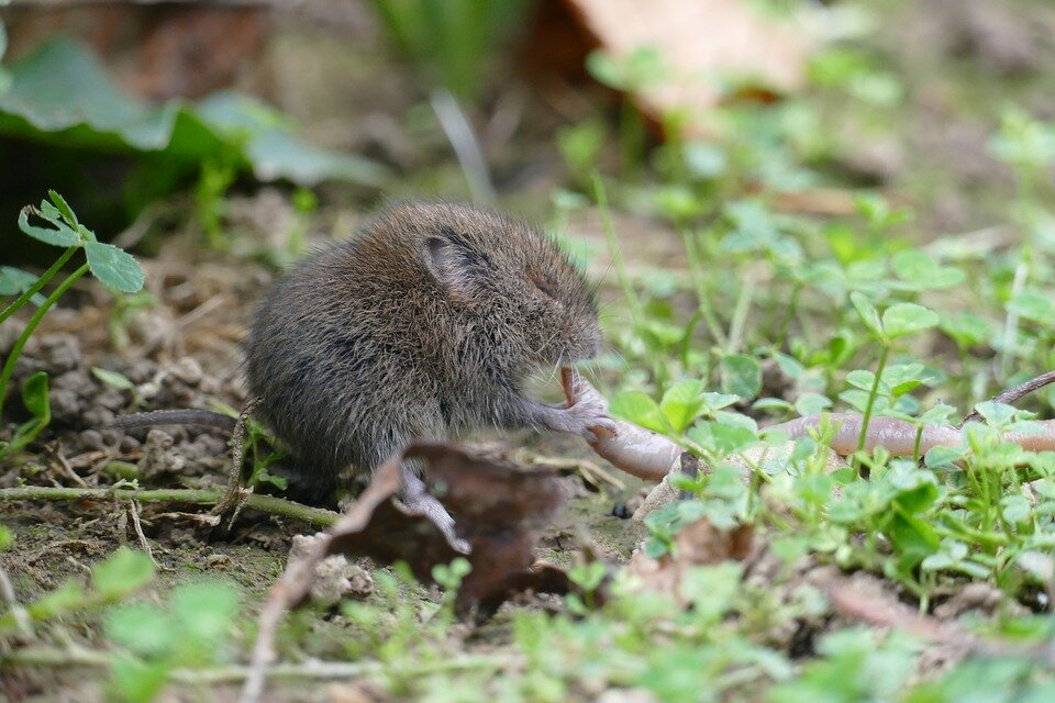 A vole is a mouse-like rodent that is a favorite food source of owls.