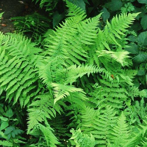 new york fern.jpg