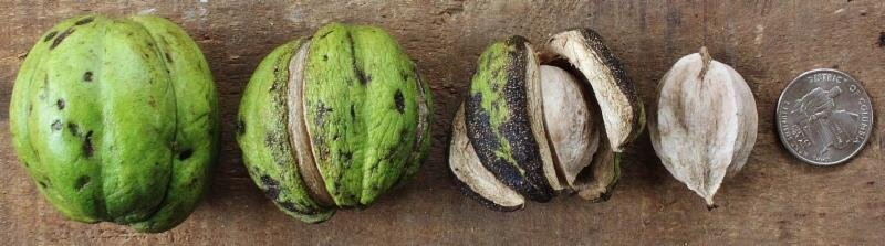 Shagbark hickory nuts, Photo: ouroneacrefarm.com