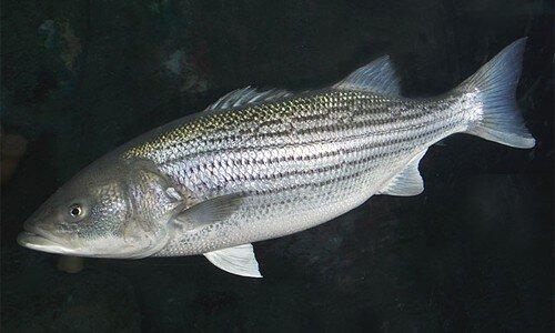 Striped bass,  Morone saxatilis .  Photo: chesapeakebay.net