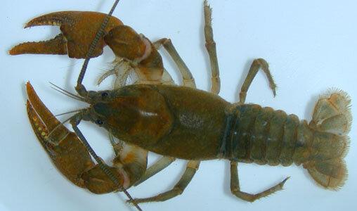 Crayfish,  Cambarus bartonii . Photo: ncwildlife.org