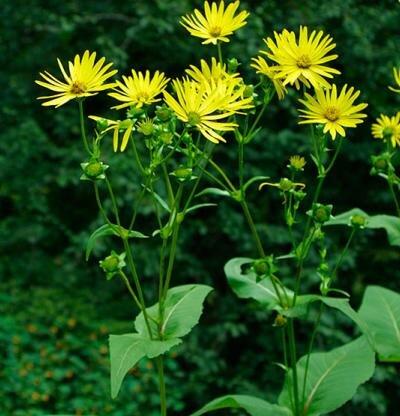 Silphium perfoliatum . Photo: finegardening.com