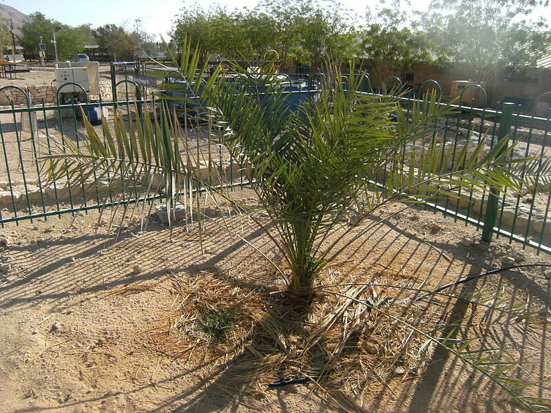 Methuselah, the Judean date palm that grew from a 2000 year-old seed. Photo: commons.wikimedia.orgmature