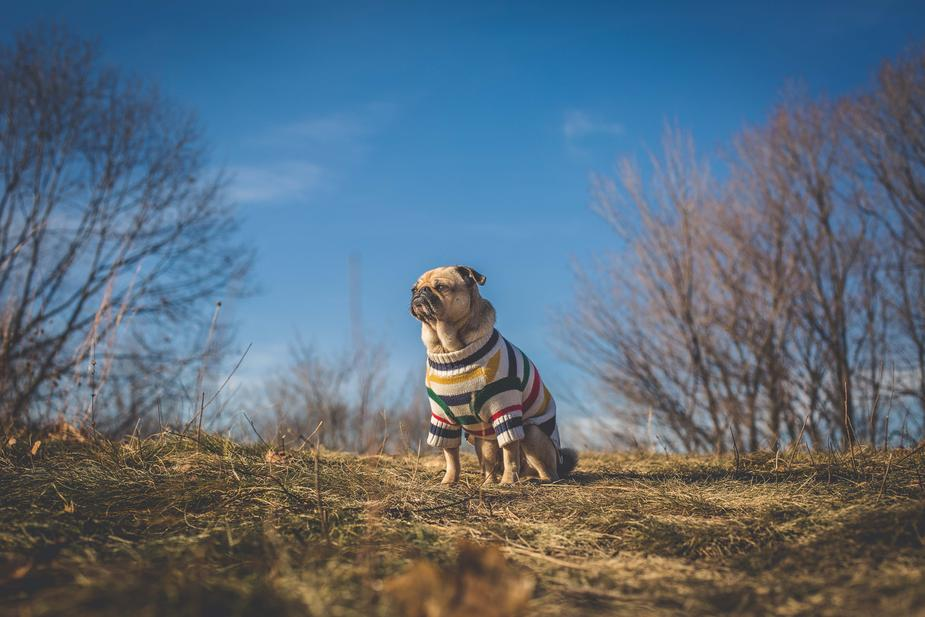 pug-dog-looks-at-sun-and-future_925x.jpg
