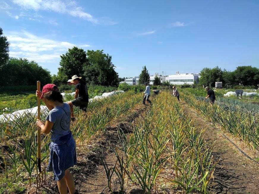 2018 garlic harvest in the Field Garden