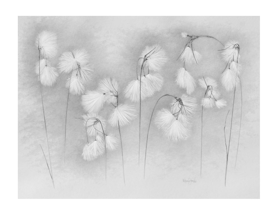Linaigrette | Cotton Grass Graphite drawing on Stonehenge toned paper