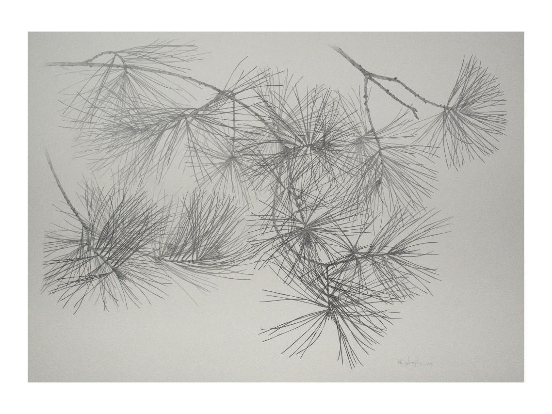 Pin blanc | White Pine Graphite drawing on Stonehenge toned paper