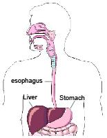Upper_Digestive_System-01.jpg