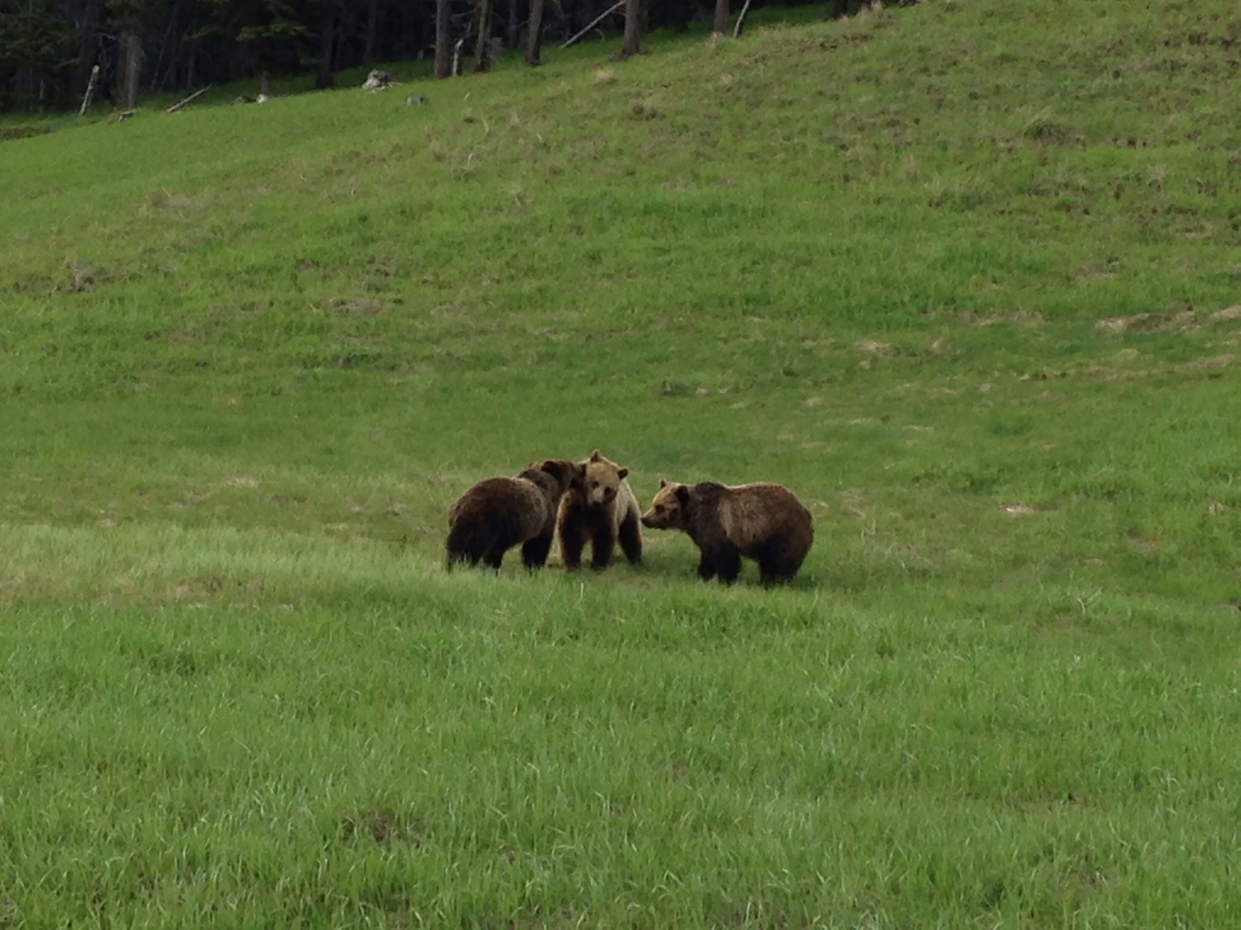 HRA_WildlifeDrivingTour_3Grizz (1).JPG