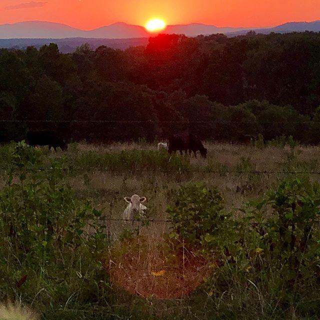 Just sitting here watching the sunset with a few nosey friends #rosefieldfarmandflowers #rosefieldfarm #flowerfarmer #virginia