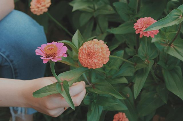 """// Z I N N I A \\ . Nothing says """"happy to see you"""" like a bundle of zinnias. These little beauties are part of the sunflower tribe + daisy family! You can't get more cheerful than that. . . . . #CutFlowerFarm #Cheerful #RosefieldFarmAndFlowers #Local #FlowerFarm #PickYourOwn #Zinnia #Bouquet #Bridal #Happy #GoodMood #SunflowerTribe #DaisyFamily #Beautiful #Nature #SaveTheBees #HappyPicking"""