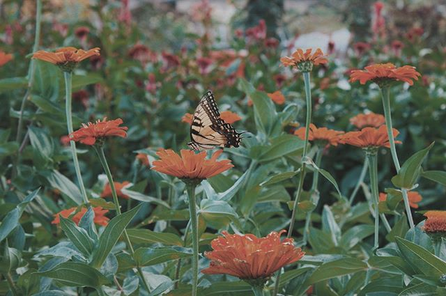 // Just a little sweetheart to brighten up a grey sky. \\ . What's your favorite rainy day activity? . . . . #CutFlowerFarm #PickYourOwn #RosefieldFarmAndFlowers #RainyDay #APX #Virginia #Butterfly #Zinnia #Flowers #Orange #Happy #Cheery #FlowerFarm #MotherEarth #Pollinators #Bouquets #Bridal #Wreath