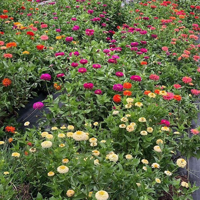 Free Zinnias today!! Available 4-7. Bring your container to put them in, they will be picked and in buckets. Deadheading my field and they are too pretty to put in the compost pile!