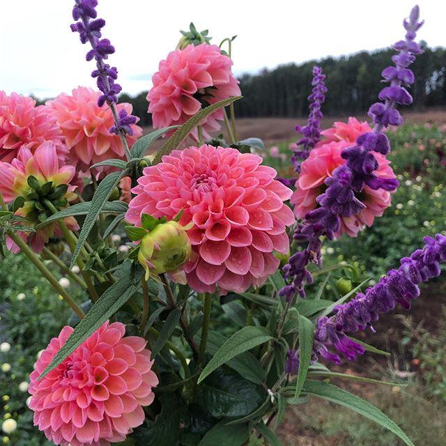 Picking in the rain just brings out the beauty even more #dahlias #rosefieldfarm #cutflowerfarm