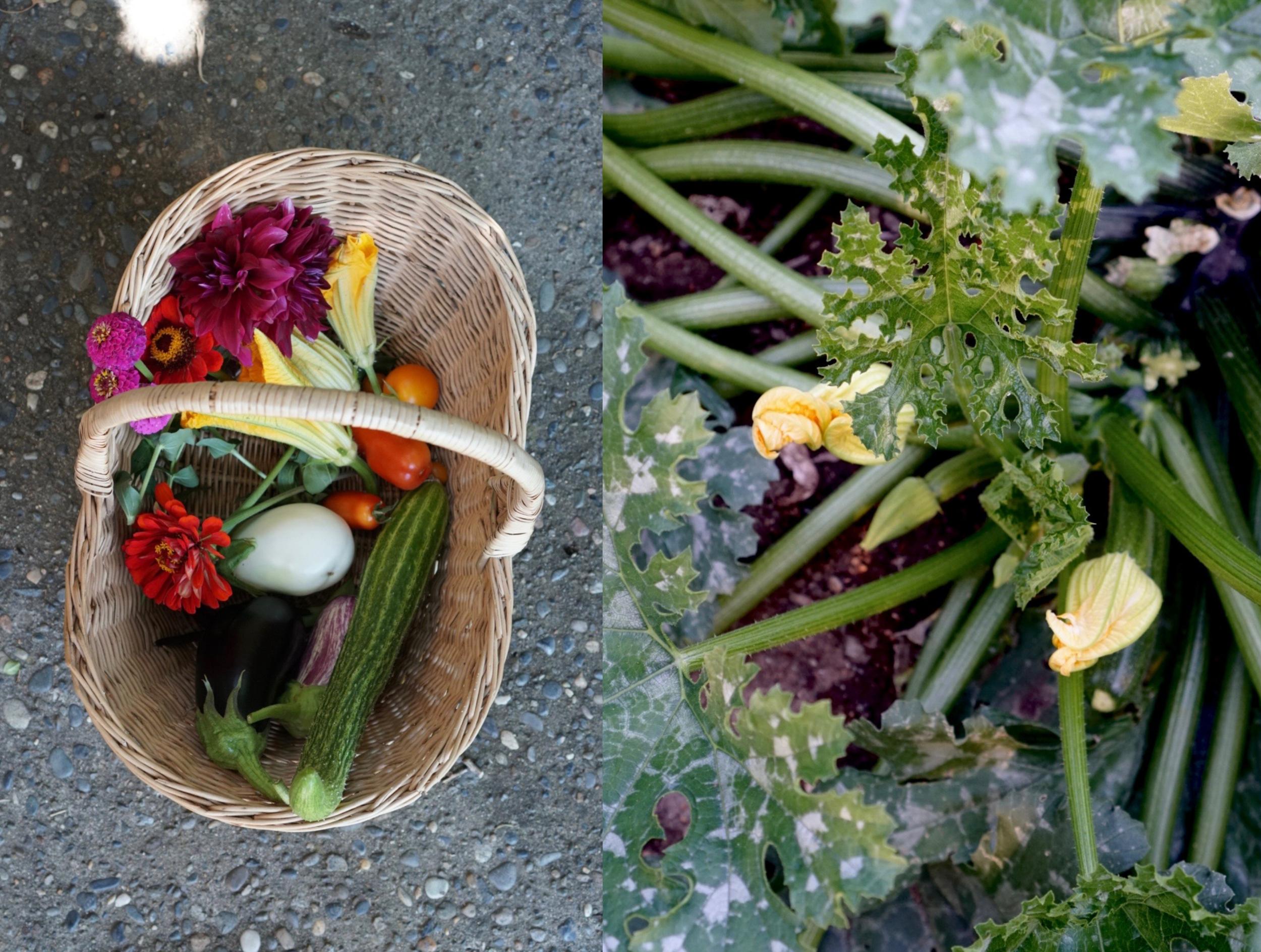 garden zucchini harvest basket