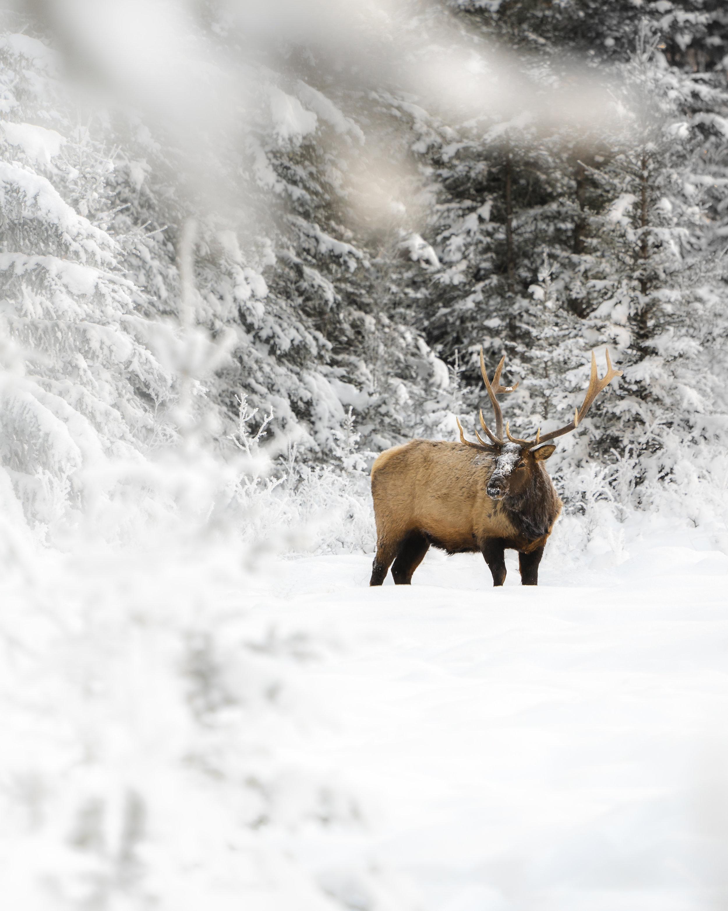 Elk in snow 2.jpg