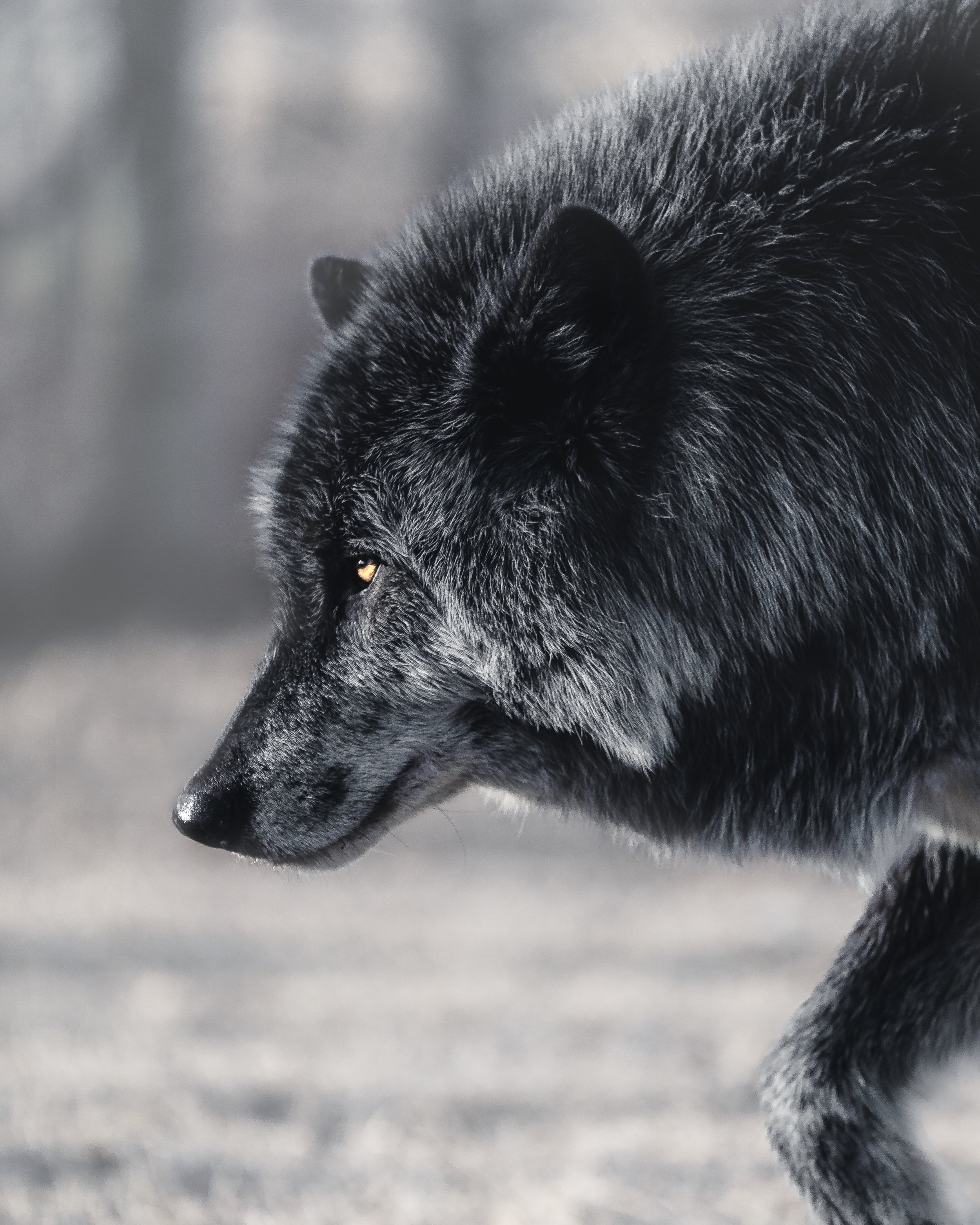 Black Wolf Dog.jpg