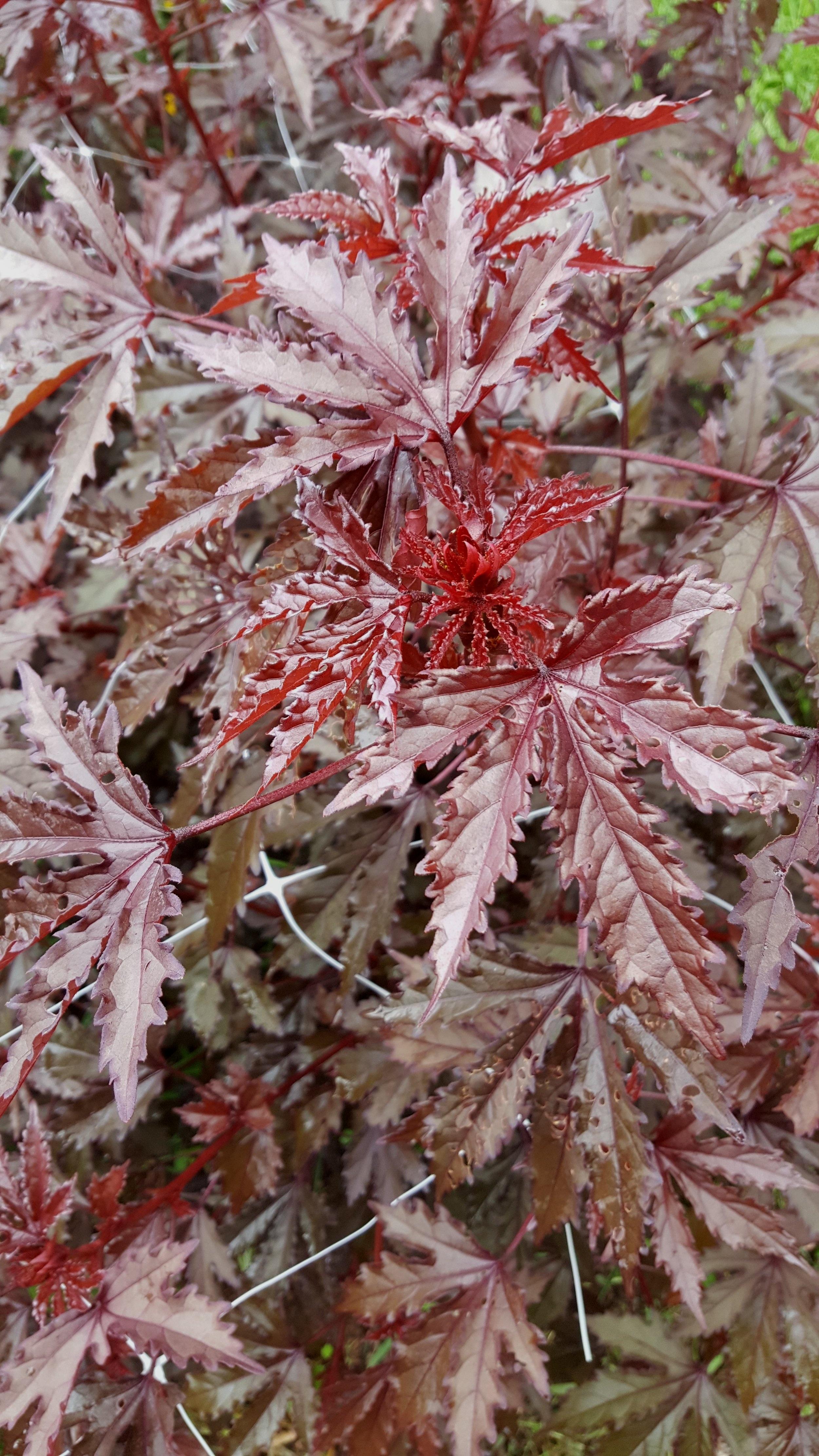 Mahogany Hibiscus Foliage