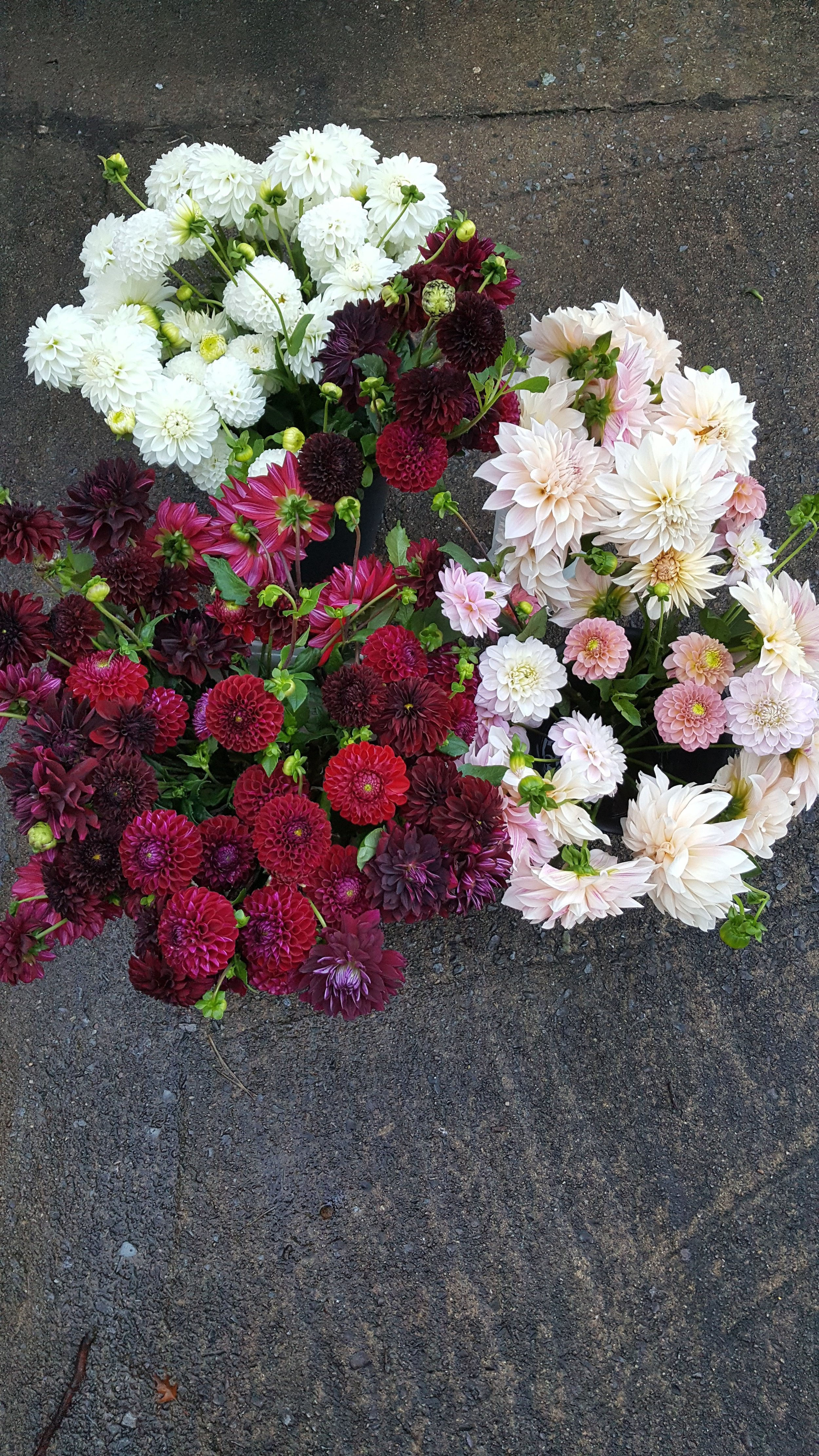 Dahlias- I have a wide range of colors and shapes!