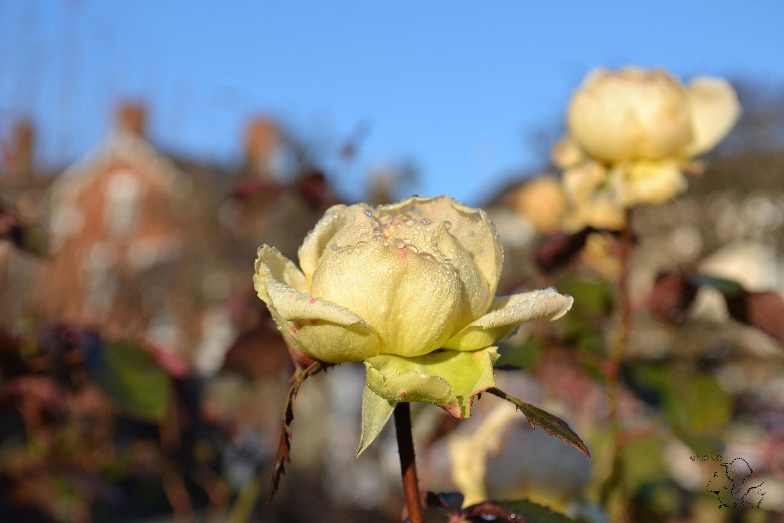 """""""Shakespeare's December Rose"""""""