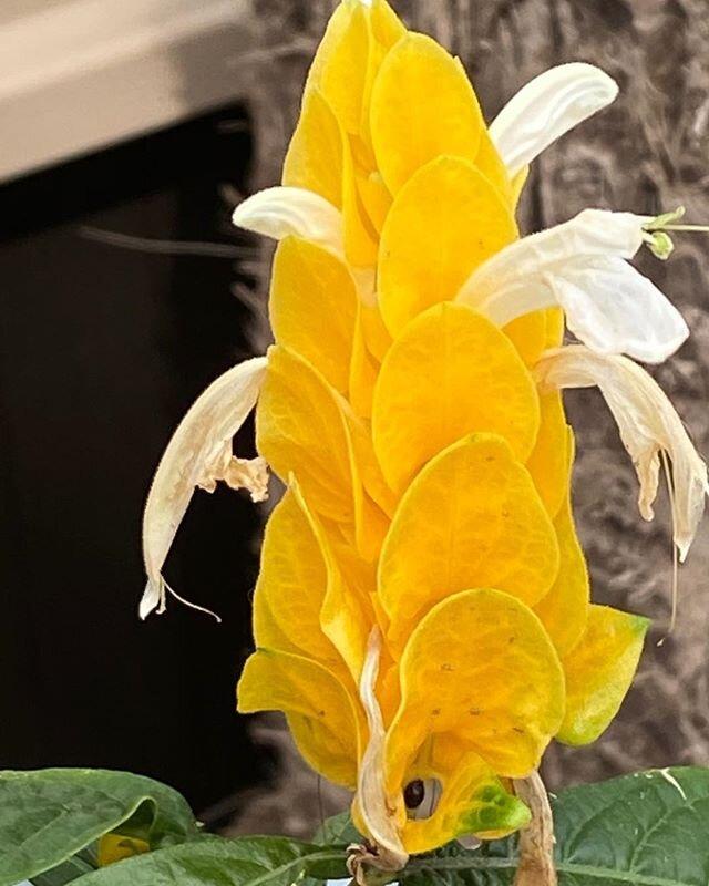 Shrimp flower?  @ignaciosprings