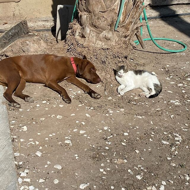Social Distancing!! Can you tell the animals that they need to Social Distance. Another relaxing day @ignaciosprings  #petfriendly #oasisinbaja  #sanignaciobajacaliforniasur #uniquehotels #yurt #bajasur