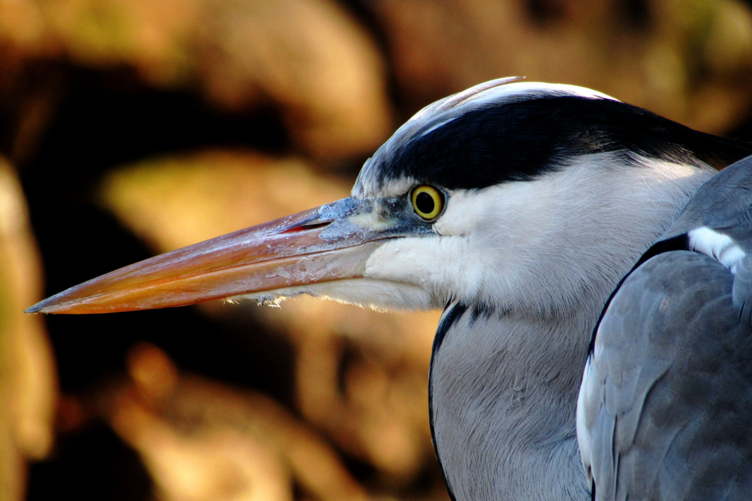 animal-heron-nature-4254.jpg