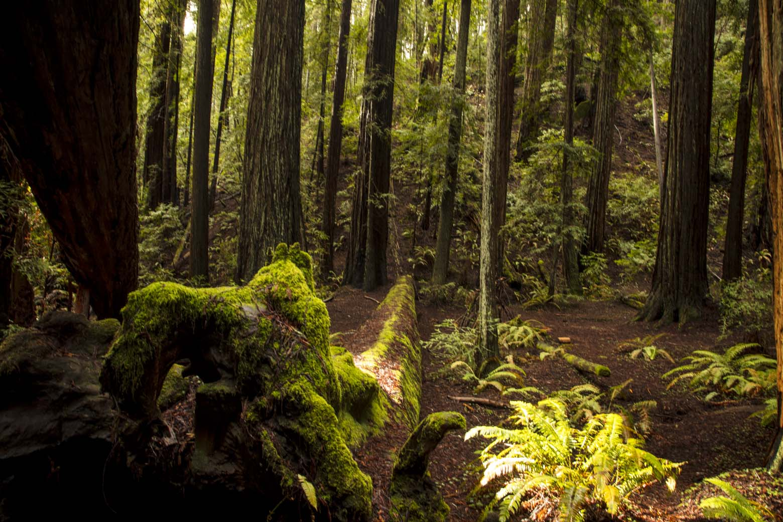 Old growth and new growth at Hendy Woods. Photo by June Ruckman