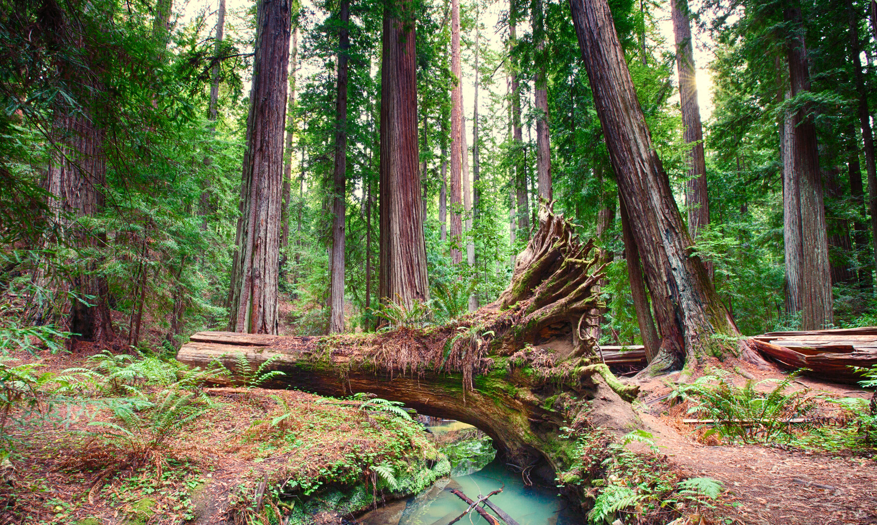 Montgomery Woods is a beautiful old growth redwood forest. Photo by June Ruckman