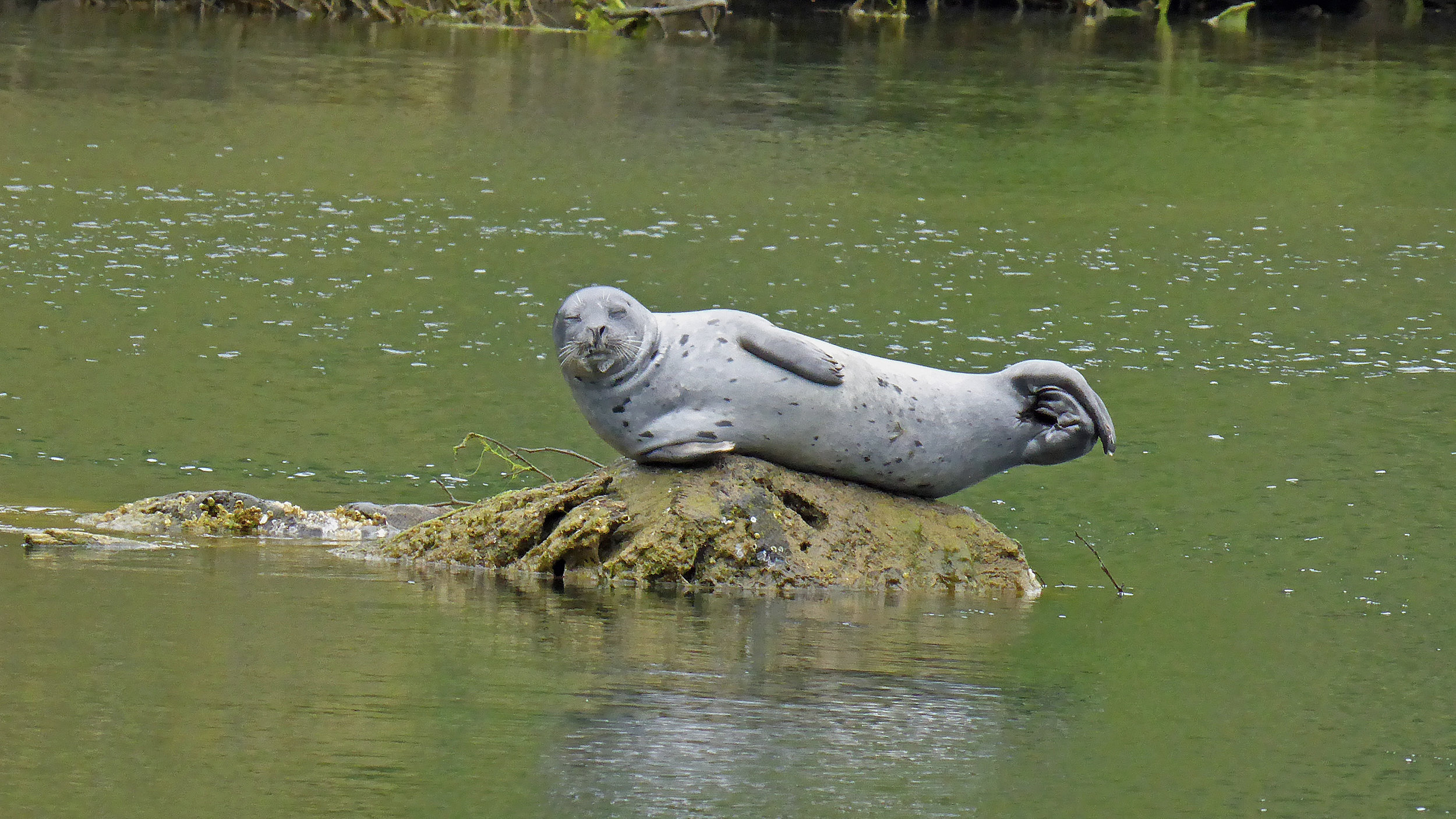 Harbor Seal Napping on the Noyo River.