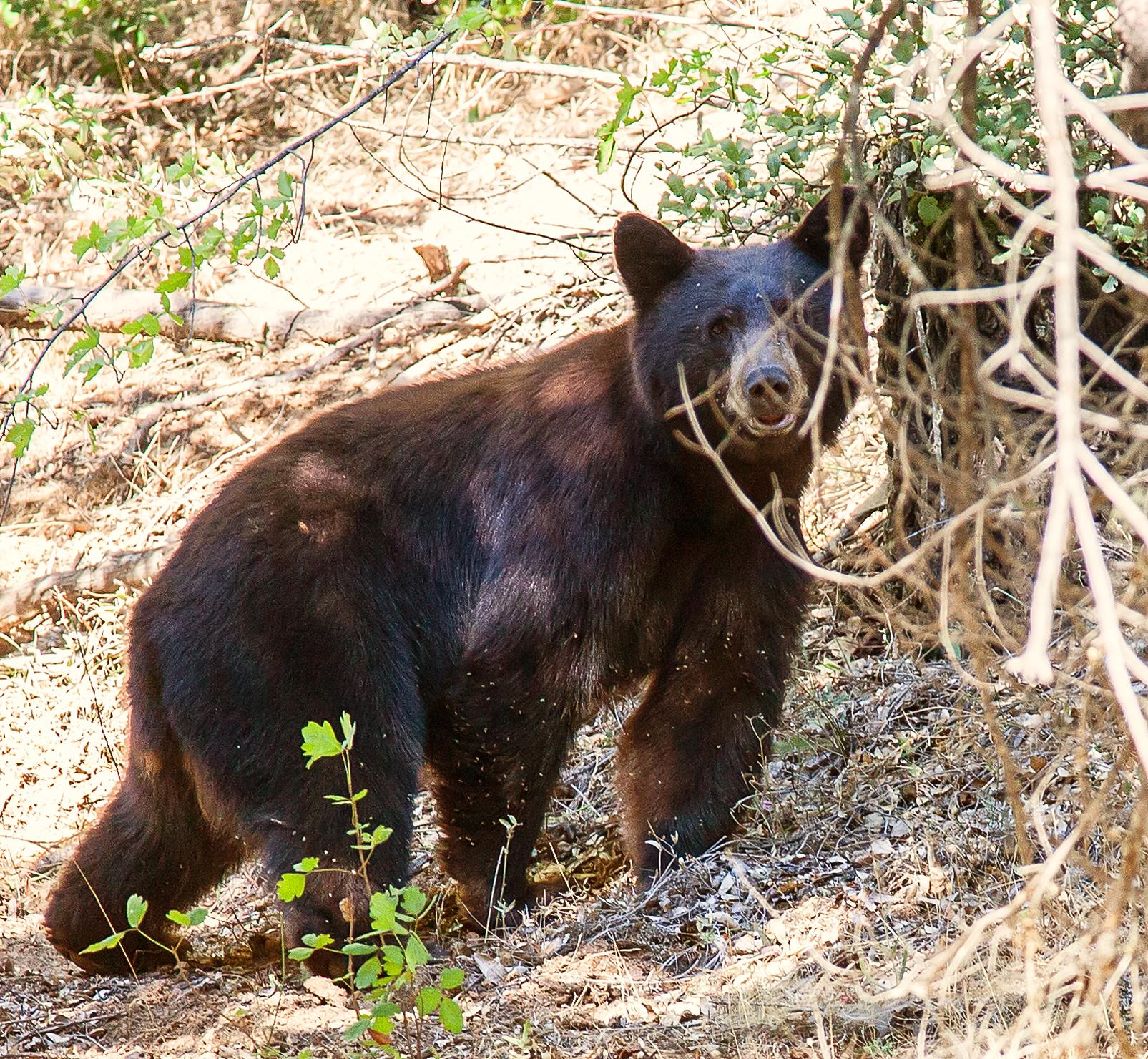 California Black Bear. Photo by June Ruckman