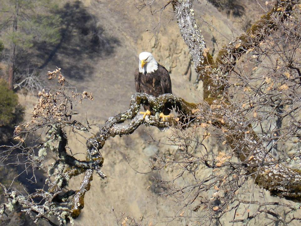 Bald Eagle on the Eel River.