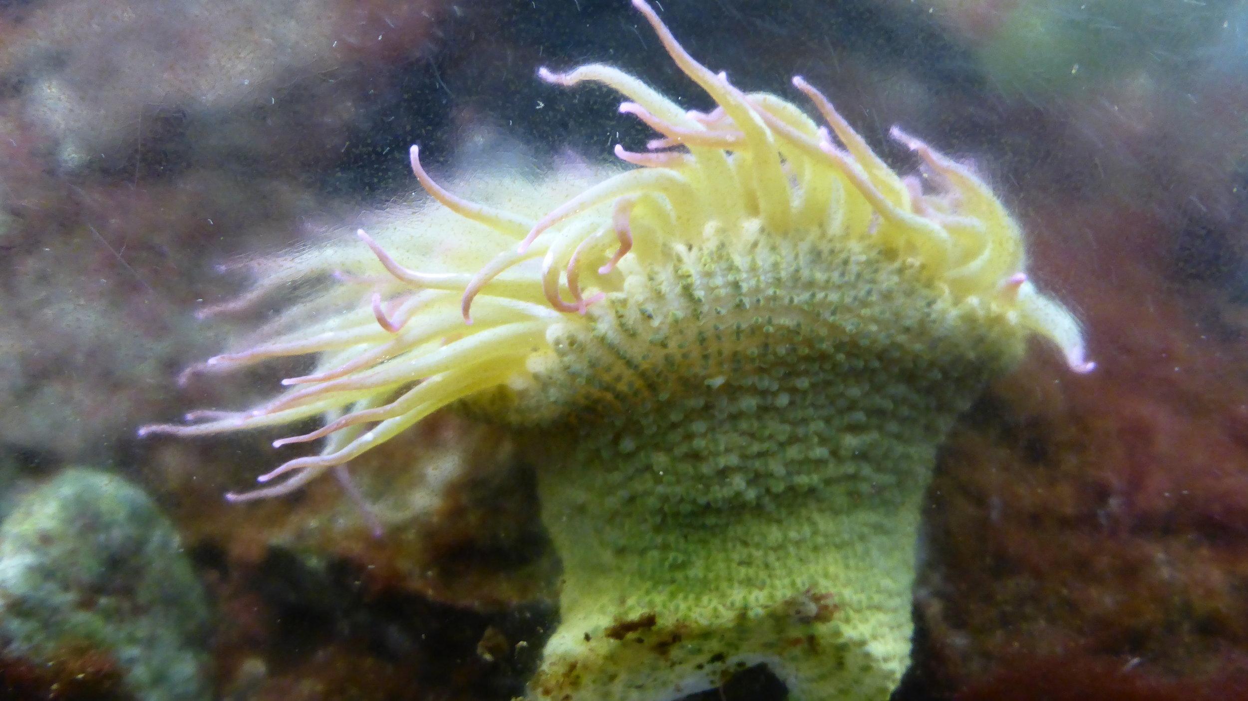 Sea anenome in the salt water aquarium at Point Cabrillo.