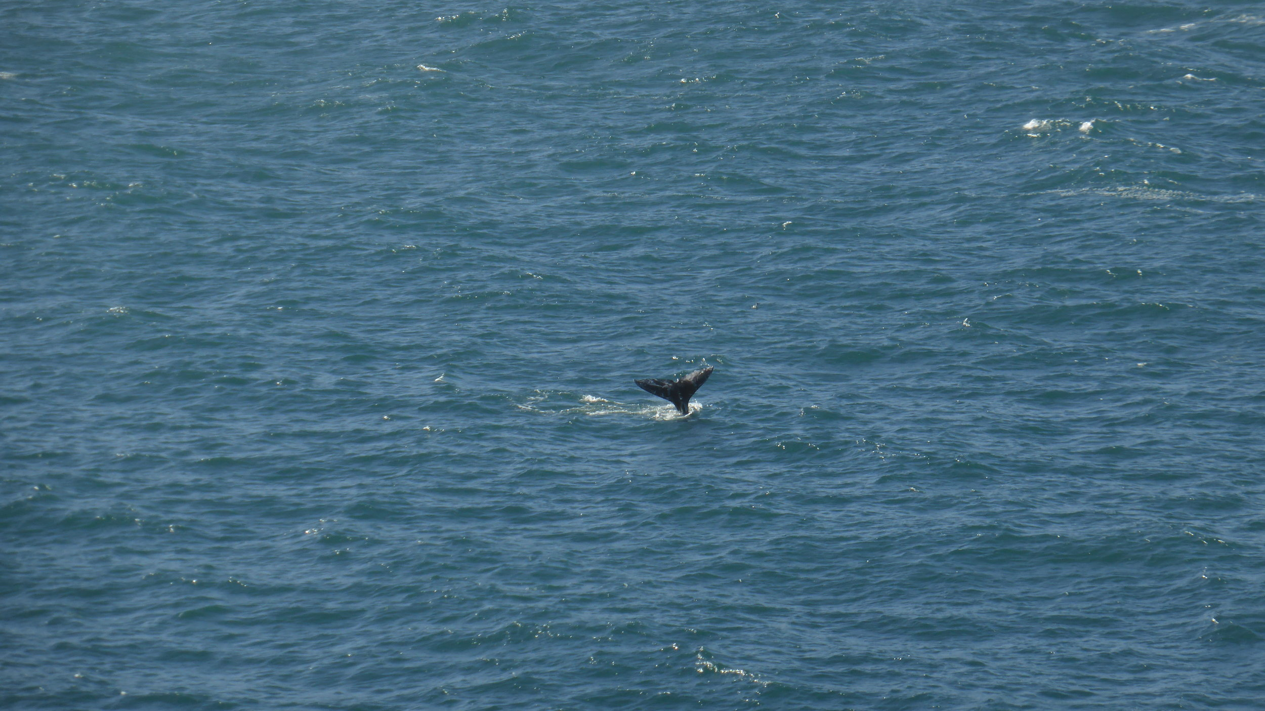 Gray whale swimming in the Noyo Bay.
