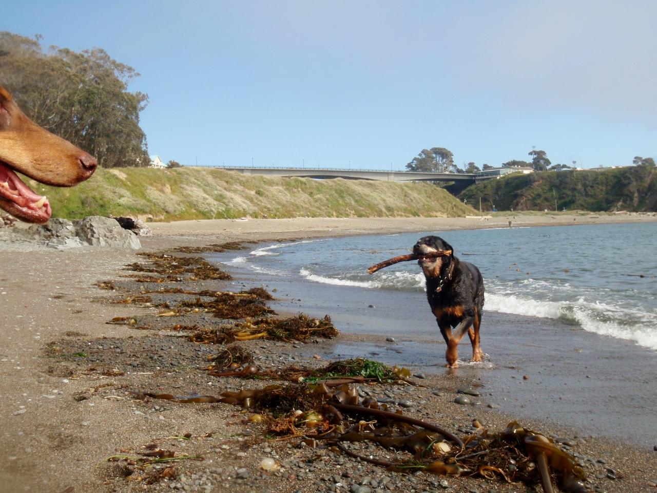 Dogs at play at Noyo Off-Leash Dog Beach.
