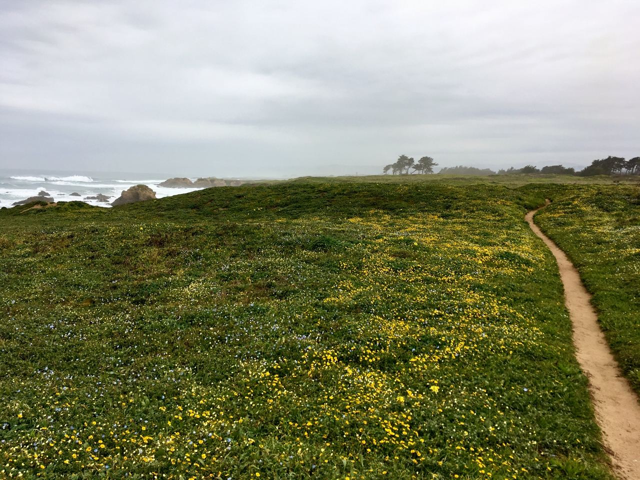Carpet of Wildflowers on the headlands between Pudding Creek and Glass Beach.
