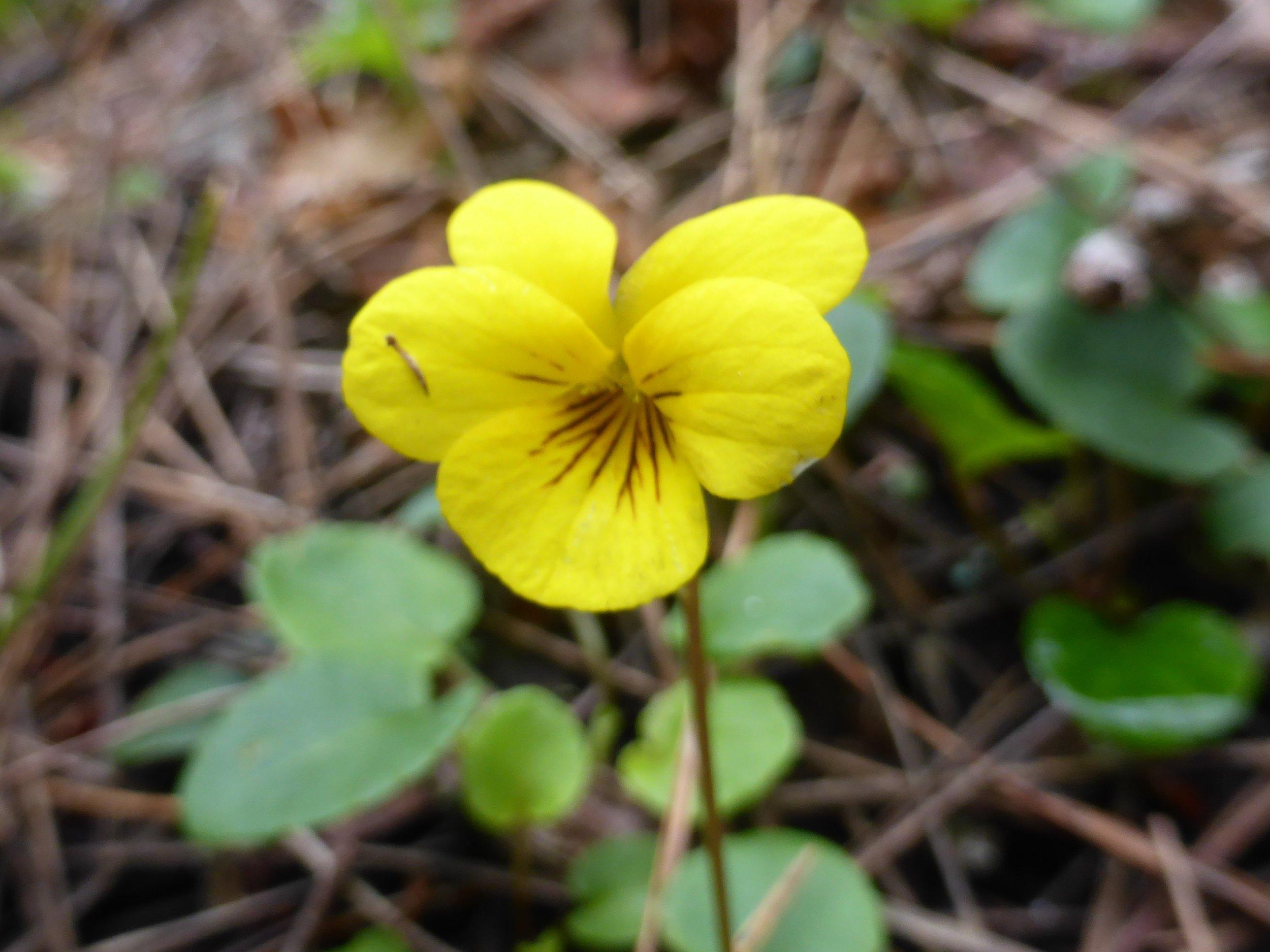 redwood violet.JPG