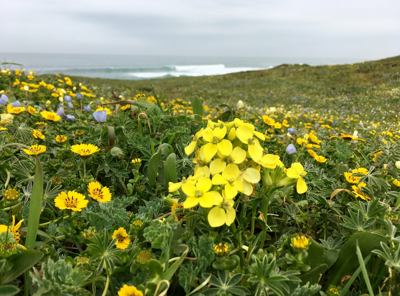 Wall flowers, gum flowers and other wildflowers blooming on the headlands between Pudding Creek and Glass Beach.