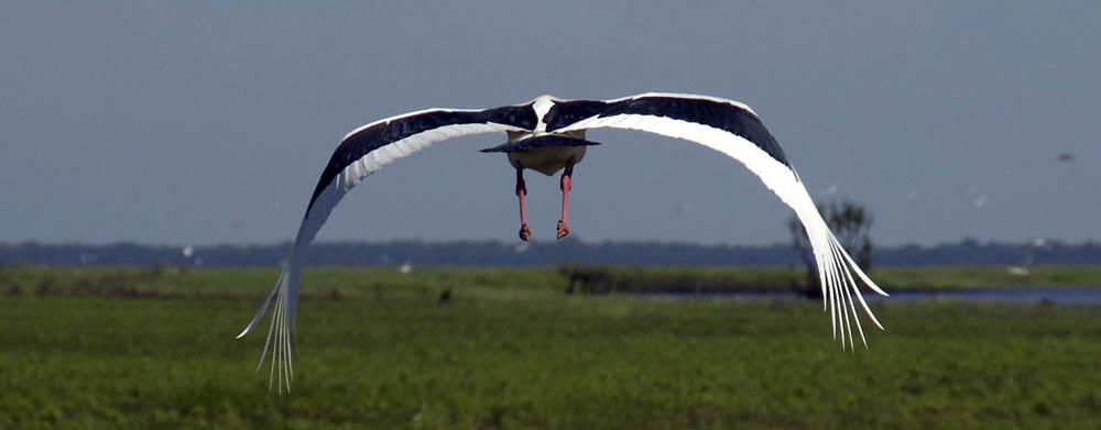 flying jabiru.jpg