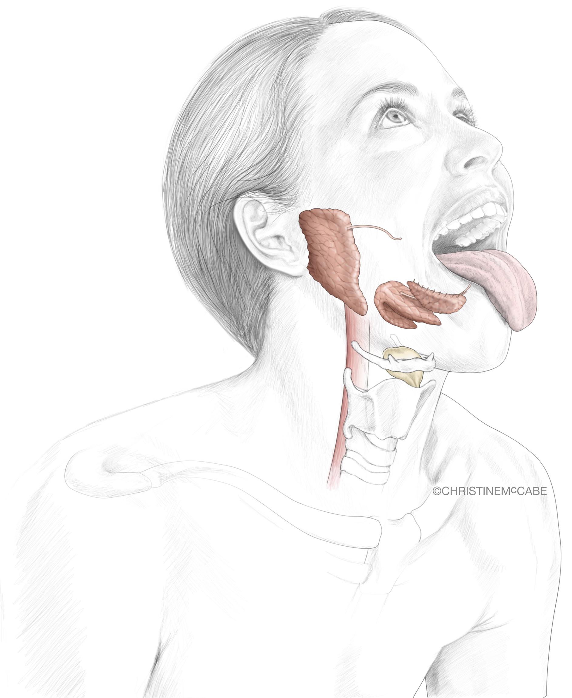 Anatomy of a Yogi - Mouth Glands.jpg