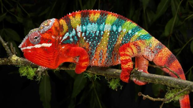 panther chameleon bbc