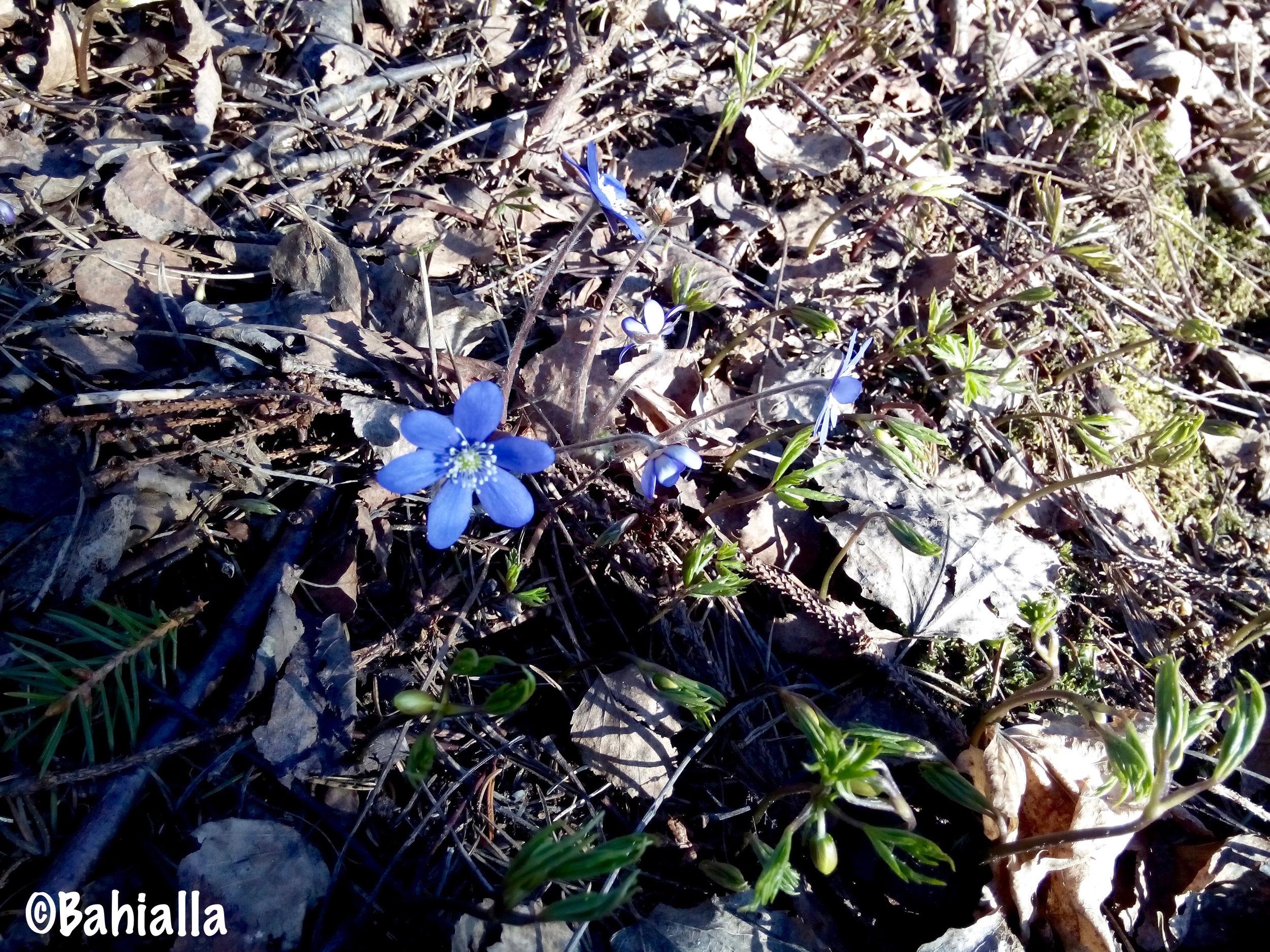 sinivuokko kukka