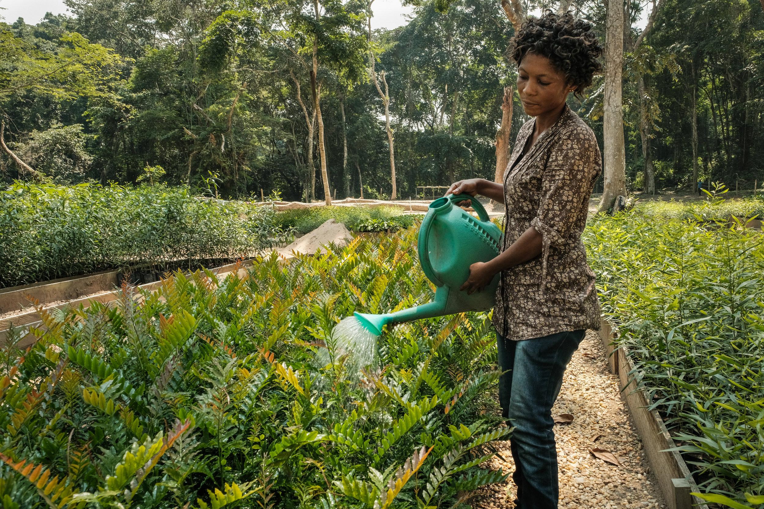 plant nursery, congo, watering plants