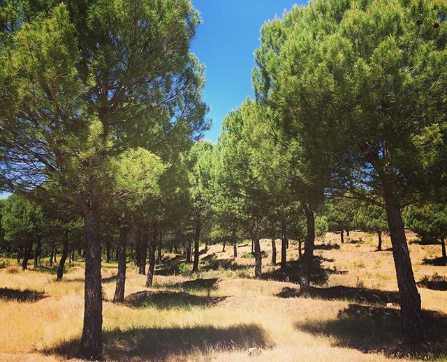 "Last week I visited the Sierra Norte de Sevilla to have a look at some restoration projects that have been implemented in the area. One such project was the planting of these pines in an attempt to reforest the zone and combat habitat loss. • Are these artificially and neatly planted trees ""natural""? What role do they have in what we consider to be ""nature""? How should we determine what and how to restore? If there's one thing I've learned about landscape restoration it's that it is indeed a very tricky and complicated field to navigate. • #sierranortedesevilla #reforestation #landscaperestoration #nature #fieldtrip #pinos #plantararboles #sustainabledevelopment #earthdayeveryday #unilife #biodiversityconservation #mondaythoughts"
