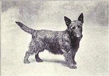 Scottish Terrier 1915