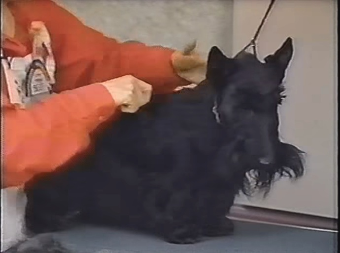 COAT CONDITIONING & CARE PT. 2 with Kari Hill, Charthill Scottish Terriers