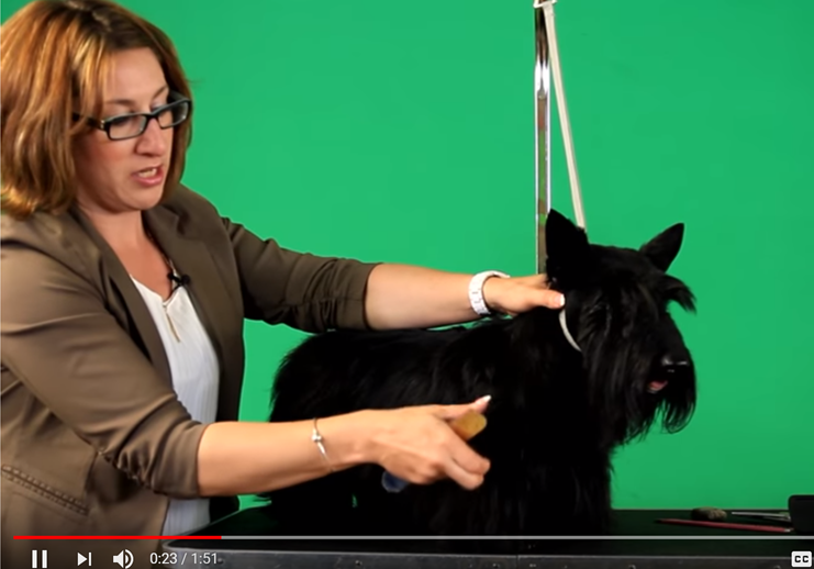 BLENDING THE SHOULDERS ON A SCOTTISH TERRIER with Rebecca Cross