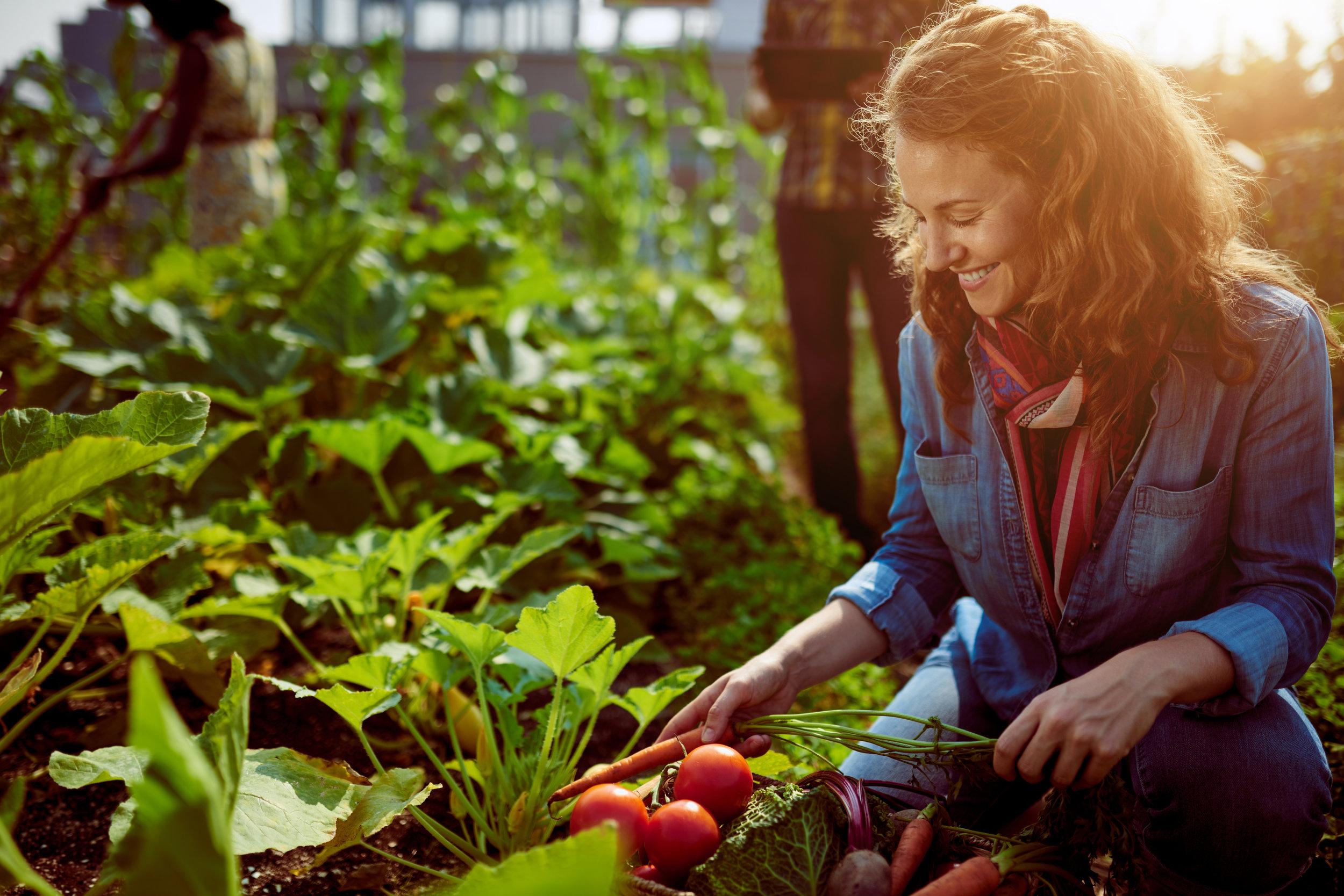 Young woman harvesting veg.jpg