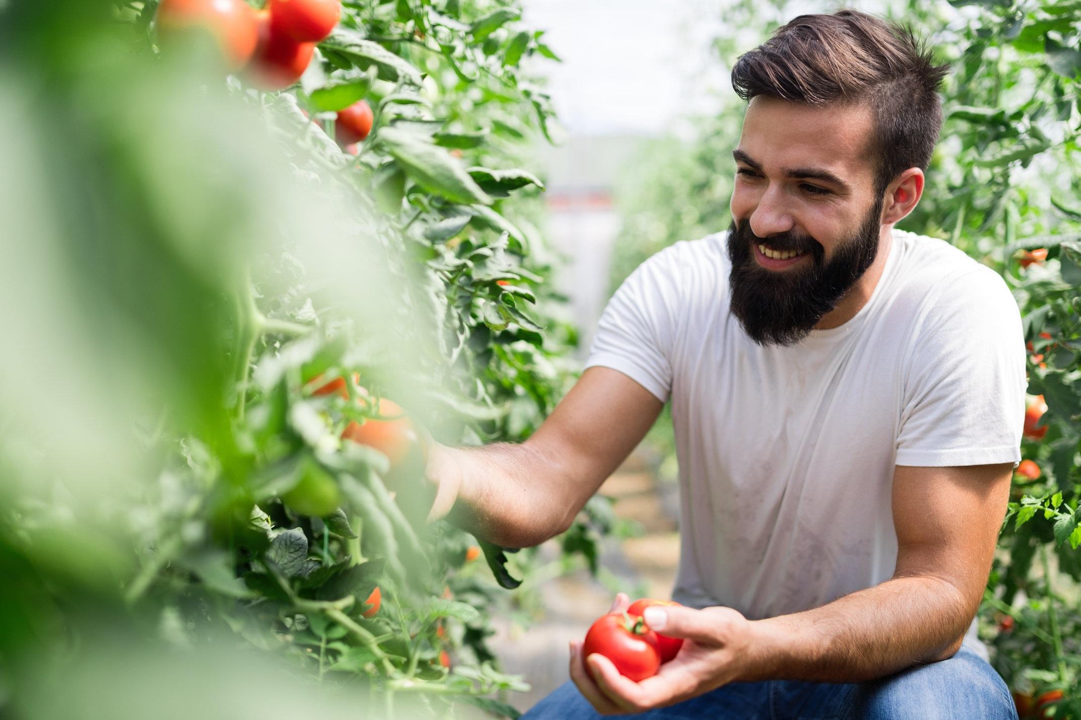 8.+Man+picking+tomatoes.jpg