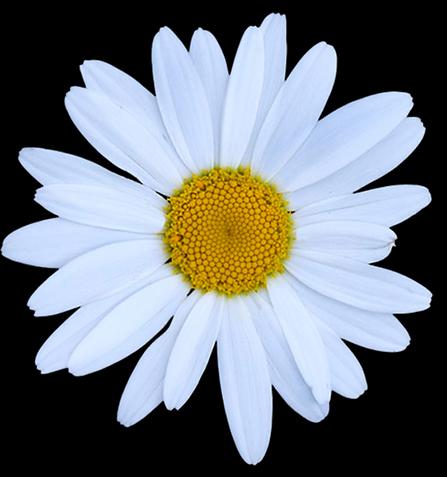 Daisey Flower.jpg